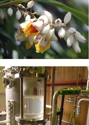 「月桃精油」花原料と抽出