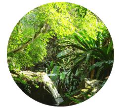 アマゾンの大自然が育んだキャッツクロー